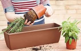 basilic citron plantes et jardins