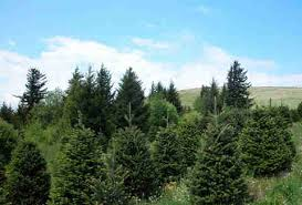 Kinds Of Christmas Trees by Types Of Christmas Trees Explained Douglas Fir Balsam Fir