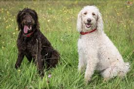 Big Dogs That Dont Shed Badly by Labradoodle Dog Breed Information Buying Advice Photos And Facts
