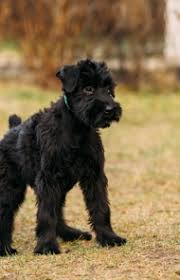 Do Giant Schnauzer Dogs Shed Hair by Giant Schnauzer Dog Breed Information Pictures Characteristics
