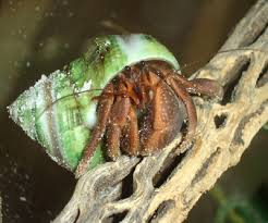 Do Hermit Crabs Shed Their Body by Hermit Crab Wearing Pearl Banded Turban Shell Hermit Crabs Are