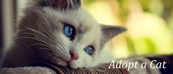 adopt a cat cat adoption in harford county maryland the humane society of