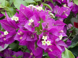 comment cultiver la bougainvillée bougainvillea hybride