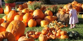 Sauvies Island Pumpkin Patch Corn Maze by Best Pumpkin Patches Near Portland