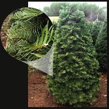 Nordmann Fir Christmas Tree Smell by Skyline Christmas Tree Farm Types Of Trees