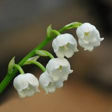 Convallaria Majalis Or Lily Of The Valley National Flower Finland