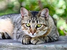 shorthair cat price american shorthair information characteristics facts names