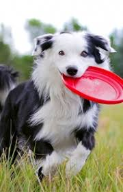 do blue heeler border collies shed border collie breed information pictures characteristics
