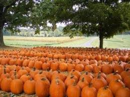 Pumpkin Patch Western Massachusetts by Middle Tennessee Pumpkin Farms Corn Mazes And More