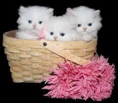 tea cup cat teacup kittens for kittens for doll kitten