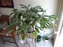 Christmas Tree Seedlings by Christmas Cactus Pruning How To Trim A Christmas Cactus