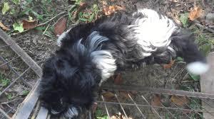 Best Non Shedding Small Dogs by About Havanese Akc Tn Ky Va Oh Ga Al Fl Sc Va Nc Non