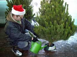 Balsam Christmas Tree Care by The Ultimate Christmas Tree Buying U0026 Care Guide The Krazy Coupon