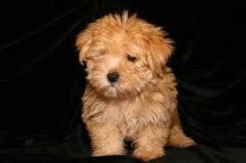 No Shedding Dog Breed by Non Shedding Dog Breeds Awww Can I Have It Pinterest