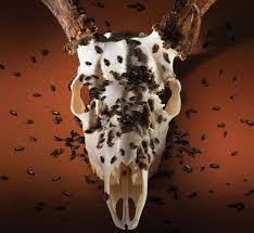 Moose Shed Antler Mounting Kit by Diy Taxidermy 3 Ways To Make Your Own European Mount Outdoor Life