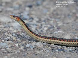 Northwest Nature Notes: GARTER SNAKES Diamondback Water Snake Indiana 1 Yard Long Youtube Snake Trap Cahaba Ewww Snakes 6 Tips To Keep Them Away From Your Home How A 14 Steps With Pictures Wikihow In The Duck House 9 Tips Help Repel Snakes Fresh Eggs Best Way Ive Found Yet Deal Problems Backyard Removal Wildlife Services Of South Florida Catch Deadly Safely Out Louisiana Department And Fisheries