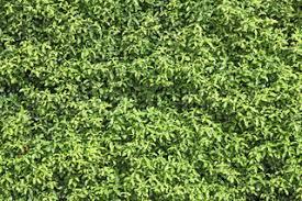 Natural Green Leaf Seamless Bush Wall