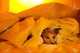 hund das schlafzimmer krank oder müde blatt der seinen körper low light foto unter der decke im bett schlafen