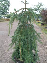 Picea Abies Pendula Weeping Norway Spruce1JPG 390952 Bytes