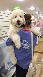 Do F1 Sheepadoodles Shed by Best 25 Goldendoodle Grooming Ideas On Pinterest Puppy Care