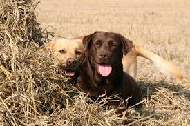 Chesapeake Bay Retriever Vs Lab Shedding by Top 10 Best Dogs For Bird Hunting Herepup