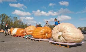Atlantic Giant Pumpkin Taste by Spectators Watch As A Giant Pumpkin Gets Weighed At Last Year U0027s