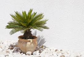 palmen richtig schneiden mein schöner garten