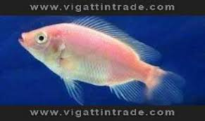 Add To Favorites Red Tilapia Fingerlings