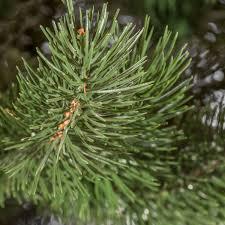 Balsam Fir Artificial Christmas Trees by Artificial Christmas Tree Spruce Premium Artificial Christmas