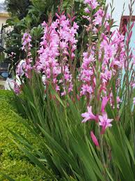 golden gate gardener watsonias wildly successful plant of late