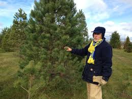 Types Of Christmas Trees To Plant by Erickson Brothers Tree Farm Offers Christmas Trees The Swedish Way