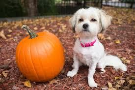 Pumpkin For Pets Diarrhea by Here U0027s Why You Should Be Feeding Your Dog Pumpkin Cuteness