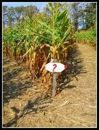 Kohala Pumpkin Patch Hours by Corn Maze Sign Corny Pinterest Corn Maze Maze And Haunted Maze