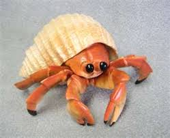 Do Hermit Crabs Shed Their Whole Body by Ready Or Not Hermit Crabs And Visa Cards