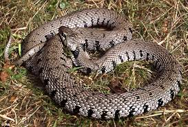 The UK Is Home To Four Kinds Of Wild Snake Not Three As Was Previously