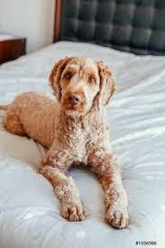 foto auf lager niedliche entzückende schamlose rothaarige haustier hund liegt auf sauberem bett im schlafzimmer zu hause kühne haustier pudel