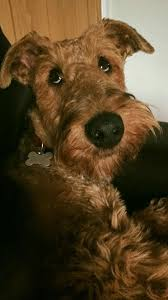 Airedale Terrier Non Shedding by 19 Best Airedales Images On Pinterest Dashboards Airedale
