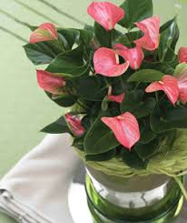 anthurium easy to grow and easy to