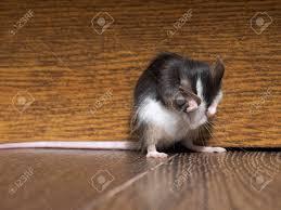 grau flauschige weiße maus auf dem boden im wohnzimmer schließt maulkorb pfoten lustiger nagetier