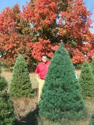 Canaan Fir Christmas Tree Needle Retention by Big John U0027s Christmas Trees Trees