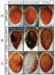 expression cuisine figure 1 mask suppresses eye degeneration induced by mapt and fus