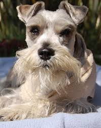 Terriers That Dont Shed by Top 8 Best Dog Breeds That Dont Shed U2013 Blogging Duo