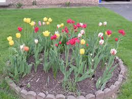 planting tulip bulbs how to grow tulips growing tulips