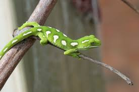 Crested Gecko Shedding Behavior by Pet Gecko Lizards Can Make People Sick Cbs News
