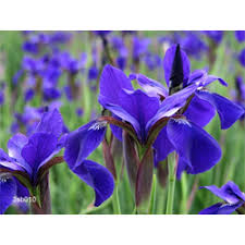 siberian irises siberian iris bulbs for sale terra ceia farms