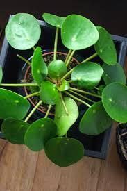 pflanzen der interior trend monstera pilea co