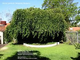 Morus Pendula Weeping Mulberry