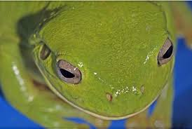 Do Aquatic Dwarf Frogs Shed Their Skin by Desert Frogs U0027fog Up U0027 To Collect Water