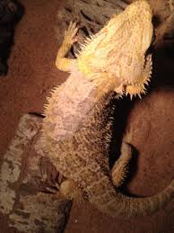health what is this dull patch on my bearded dragon pets