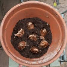 planting daffodil bulbs out of my shed